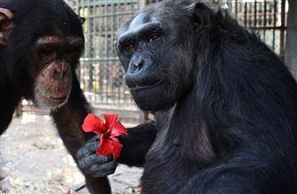 الشمبانزي دودو يهدي الأنثى لوزة وردة حمراء في الفلانتين| صور