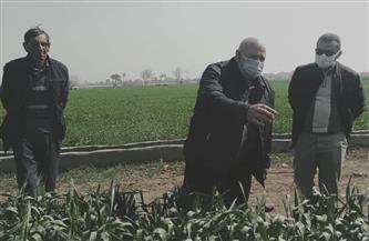 «الزراعة» تطمئن على الحالة المرضية للقمح في بني سويف | صور