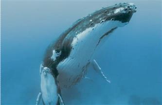 مشهد لحوت يحتضن صغيره يخطف الأنظار عبر وسائل التواصل الاجتماعي | فيديو