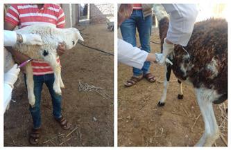 بدء الحملة القومية لتحصين الماشية ضد الحمى القلاعية وحمى الوادي المتصدع برأس غارب | صور