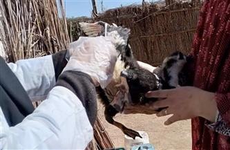 محافظ كفر الشيخ: تحصين 33720 طائراً من الأمراض الوبائية | صور