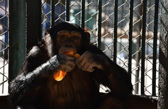 من بينها «لوزة ودودو وإنجي والبرنس».. قردة الشمبانزي في مصر لها طقوس غذائية خاصة لمواجهة البرد