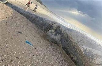 وزنها 12 طنا.. العثور على أنثى حوت أحدب نافقة على شواطئ مطوبس بكفر الشيخ |صور