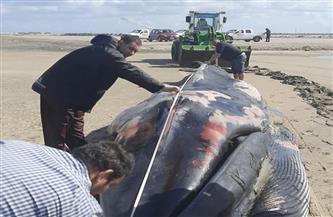 دفن صحي لأنثى الحوت النافقة بـ«كفر الشيخ»  في مزرعة غليون  صور