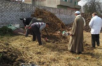 تحصين 266 ألف رأس ماشية ضد مرض الحمى القلاعية بالمنوفية   صور