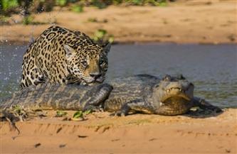 2 أسد إفريقي وتمساح.. تفاصيل ضبط مخزن يضم طيورا نادرة وحيوانات مفترسة مهددة بالانقراض بالهرم