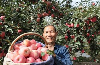 صناعة الفاكهة تقود ولاية أقسو في منطقة سنجان إلى الازدهار