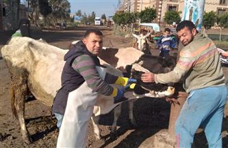 تحصين 170 ألف رأس ماشية ضد حمى الوادى المتصدع و«القلاعية» بكفر الشيخ   صور