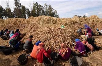 «التضامن» تحتفل بأول موسم حصاد محصول البطاطس ببني سويف