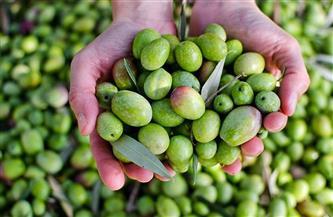 """""""الزراعة"""" تصدر توصيات لمزارعي محصول الزيتون في فبراير"""