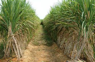 """هام لمزارعي قصب السكر.. """"الزراعة"""" تصدر نشرة بما يجب اتباعه خلال فبراير"""
