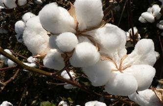 """""""الزراعة"""" تصدر توصيات لمزارعي محصول القطن خلال شهر فبراير"""