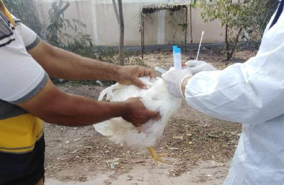محافظ كفر الشيخ تحصين  طائرًا ضد الأمراض الوبائية
