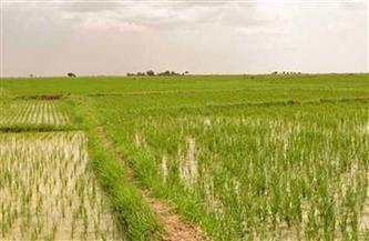 الإحصاء: 53.8% زيادة في إنتاج محصول الأرز عام 2018-2019
