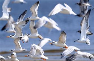 الجزائر: رصد بؤرة لأنفلونزا الطيور بولاية أم البواقي شمال شرقي البلاد