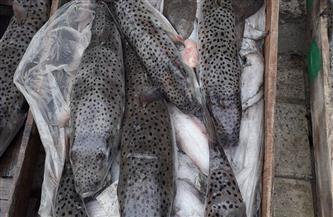 ضبط 300 كجم من أسماك القراض السامة قبل بيعها بالإسكندرية
