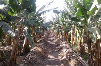 خبراء: نقل زراعات الموز للأراضى المستصلحة يحتاج لإعادة نظر