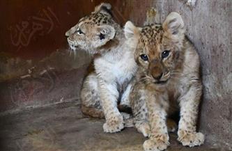 «رشا وسكر» أول مواليد «بيت السباع» فى حديقة حيوان الجيزة 2021 | صور