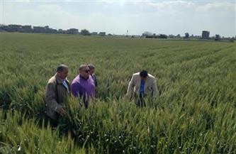الزراعة تطمئن على محصولي القمح والفول في محافظة القليوبية | صور