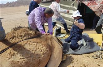 الزراعة: القافلة البيطرية المجانية تفحص الهجن بمضمار شرم الشيخ الدولي| صور