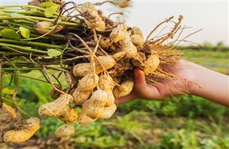 """""""الزراعة"""" تصدر نشرة بالتوصيات الفنية لمزارعي محصول الفول السوداني يجب مراعاتها خلال شهر مارس"""