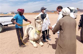 القافلة البيطرية تختتم أعمالها في جنوب سيناء بفحص الهجن في مضمار شرم الشيخ الدولي | صور