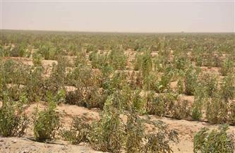مشروع استثمار زراعي لزراعات الجوجوبا بالوادي الجديد على مساحة 7500 فدان| صور