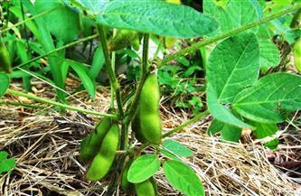 «الزراعة» تصدر توصيات فنية لتجنب إصابة محصول الفول بحشيشة «الهالوك»
