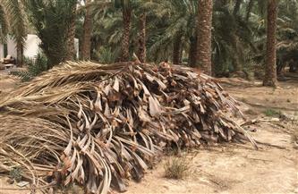 بعد نجاح «قش الأرز».. إنشاء أكبر مجمع صناعى لإنتاج الأخشاب من 2 مليون نخلة بالوادى الجديد