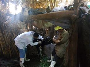 استمرار أعمال الحملة القومية للتحصين ضد أمراض الجلد العقدي وجدري الضأن في بني سويف
