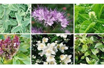 كيف تحول مزارع إلى مصدر للنباتات الطبية والعطرية؟.. جهاز تنمية المشروعات يجيب