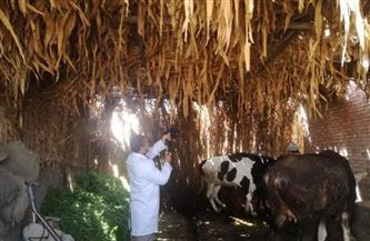 تحصين 57 ألفا من الماشية ضد الجلد العقدي والجدري في بني سويف