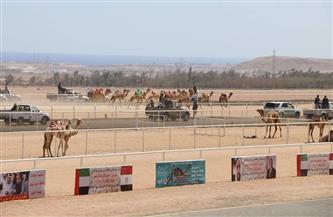 محافظ جنوب سيناء: إنشاء مضمار لتدريب الهجن بطور سيناء وتطوير مضمار نويبع | صور