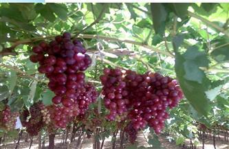"""""""الزراعة"""" تصدر نشرة بالتوصيات الفنية لمزارعي محصول العنب يجب مراعاتها خلال شهر مايو"""