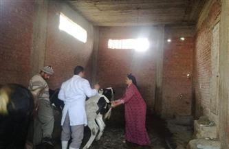 تحصين 14 ألف رأس ماشية ضد التهاب الجلد العقدي وجدري الأغنام بالمنوفية | صور
