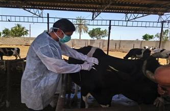 بدء الحملة القومية لتحصين الماشية ضد مرضى الجلد العقدي بأسوان
