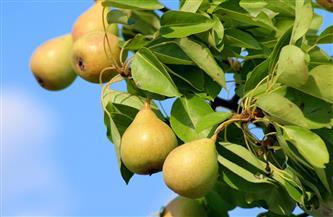 نشرة بتوصيات فنية لمزارعي محصول الكمثرى يجب مراعاتها خلال شهر مايو