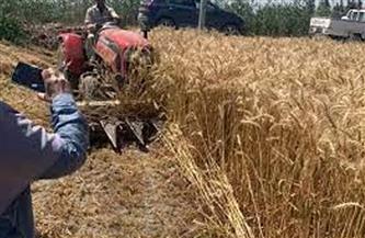 «زراعة القليوبية»: حصاد 43 ألف فدان من محصول القمح