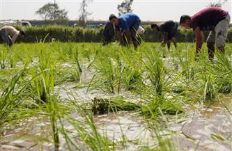 حملة لإزالة مخالفات زراعة الأرز بالقليوبية