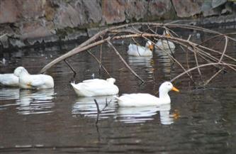4 قراميط تفترس 10 بطّات بكيني بحديقة حيوان الجيزة.. وحراس البحيرة ينجحون في اصطيادهم | صور