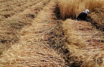 الانتهاء من موسم حصاد القمح بالقليوبية