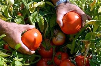 وكيل «زراعة دمياط» يتابع حصاد محصول الطماطم
