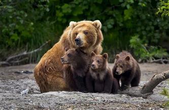 قتل اثنين من الدببة البنية بعد هروبهما من حظيرتهما بحديقة حيوانات في بريطانيا