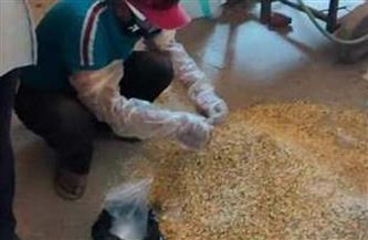 زراعة الشرقية: استمرار تنفيذ الحملة القومية لمكافحة القوارض | صور
