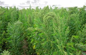مشروع الزراعة الذكية يطور نظم زراعة الكينوا بالوادى الجديد