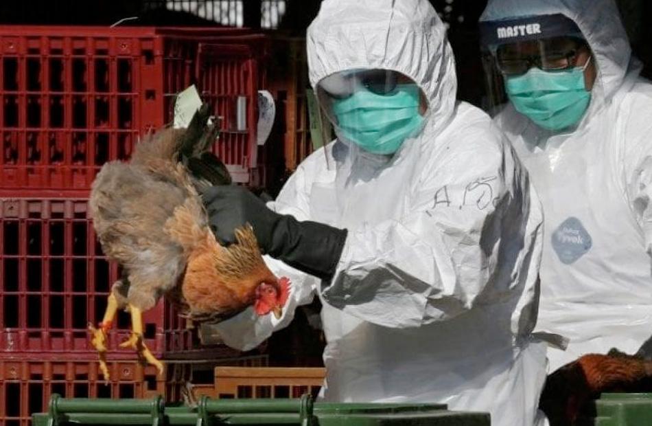 للمرة الثانية خلال أسبوع تطهير البؤرة الإيجابية لإنفلونزا الطيور بالمنوفية