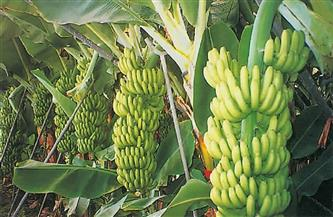 «الزراعة» تصدر نشرة بالتوصيات الفنية لمزارعي محصول الموز بشهر يونيو