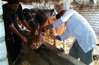 استمرار أعمال الحملة القومية لتحصين الثروة الحيوانية ببني سويف