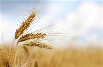"""من وادى النيل إلى بلاد الحرمين..""""حصاد القمح فى الصعيد"""" قصة غلال مدينة الوقف بقنا فى التاريخ"""