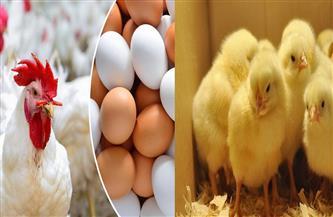 قصة معامل الدجاج السرية.. تعرف على تاريخ الإنتاج الداجنى فى بر مصر| صور